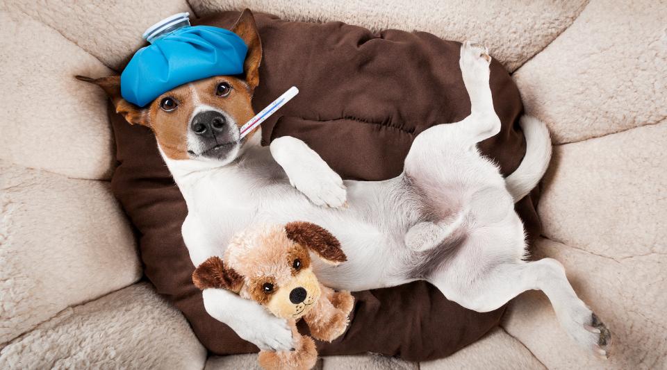 maladies et prévention pour le chien
