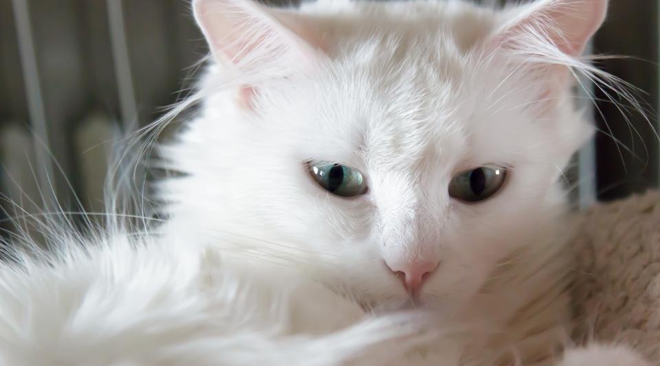 l'angora turc, cette race formidable de chat