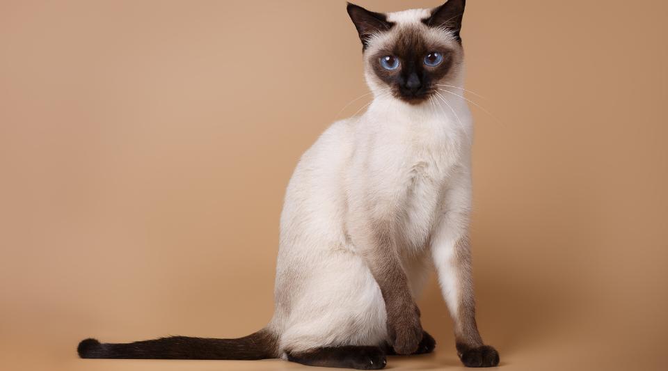 race de chat du siamois