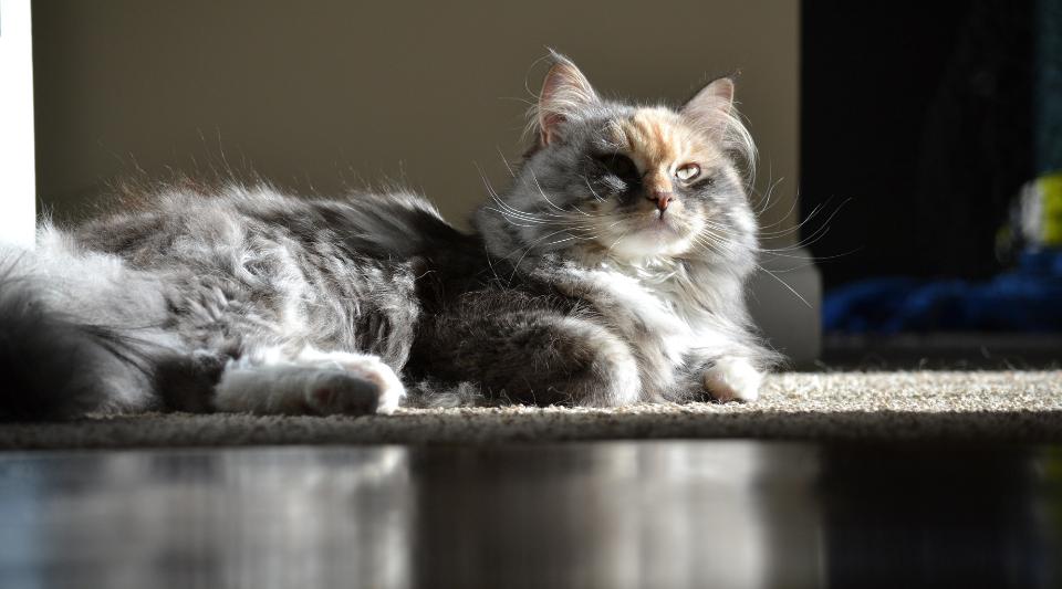 caractéristiques d'un chat sibérien