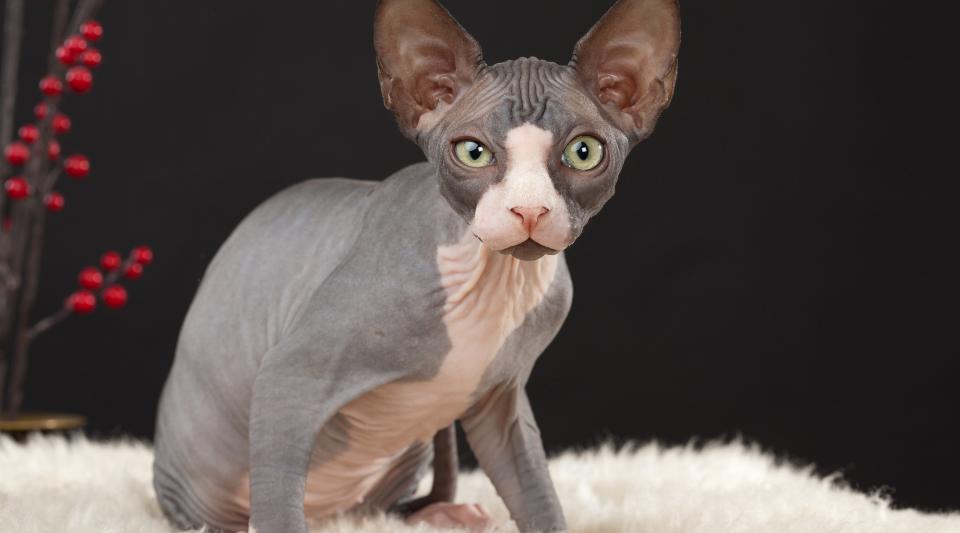 chat de race type sphynx