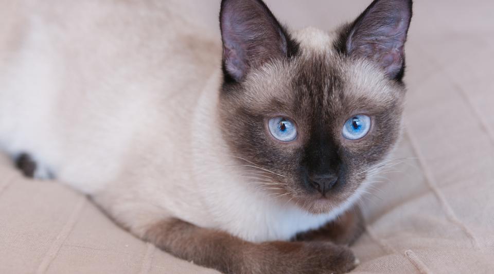 guide complet des chats thaï